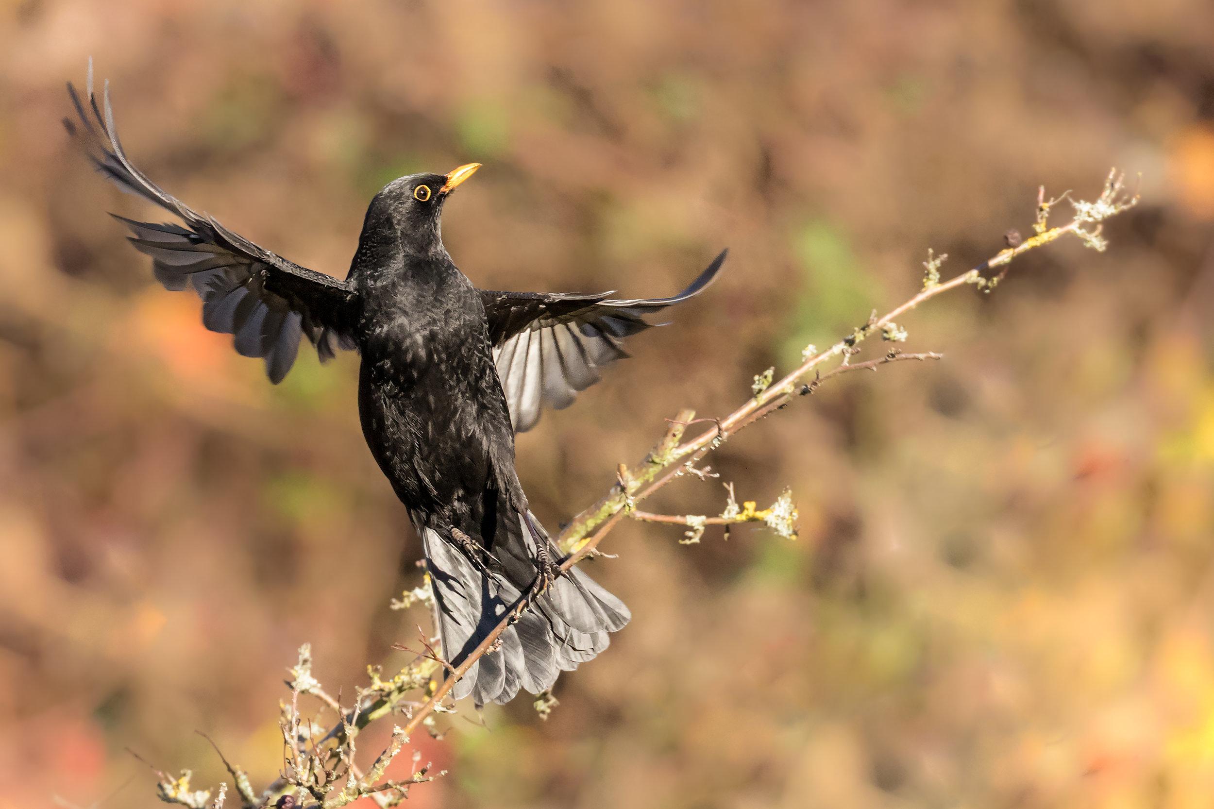 Blackbird taking flight