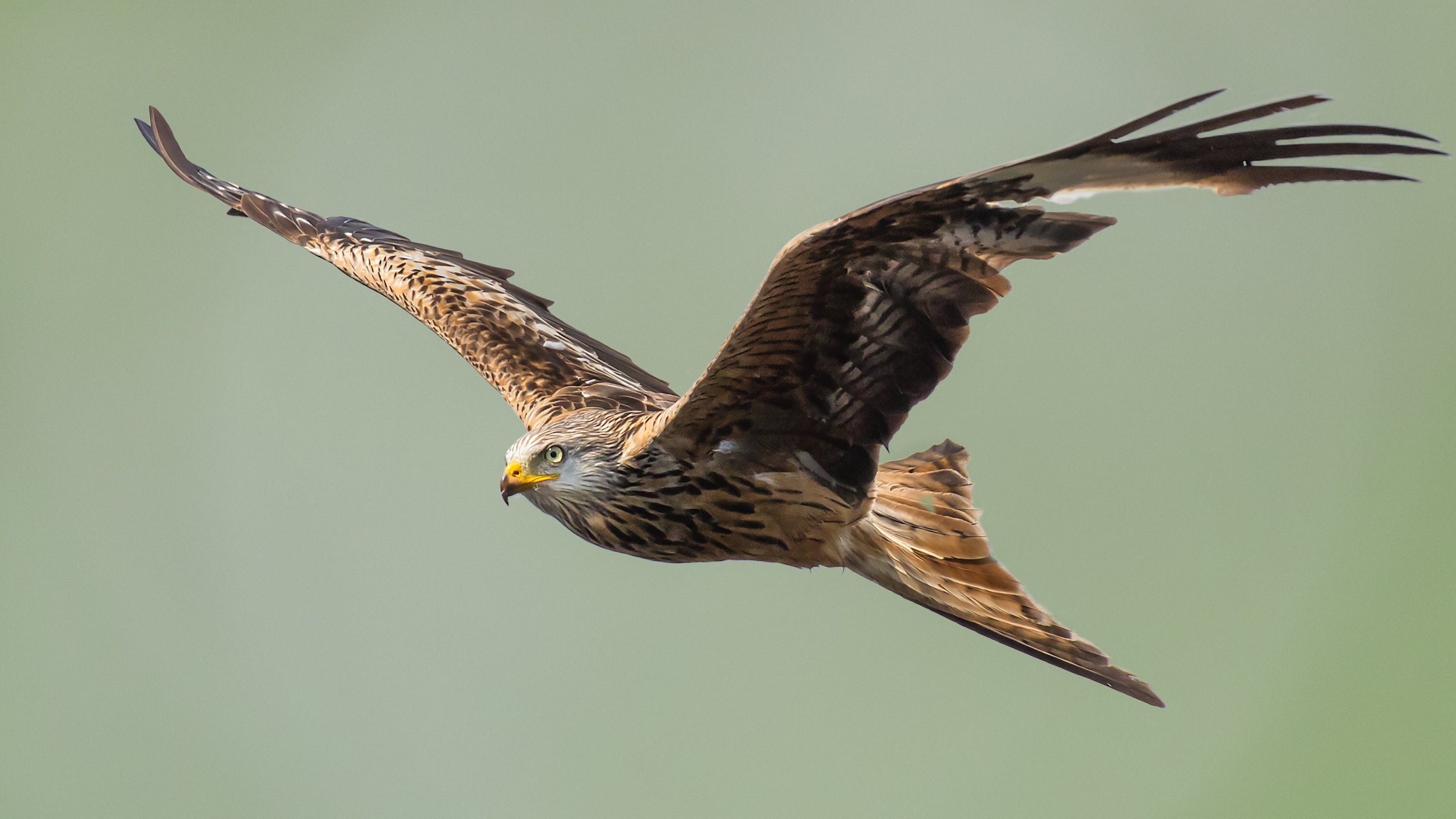 Red Kite isolated portrait