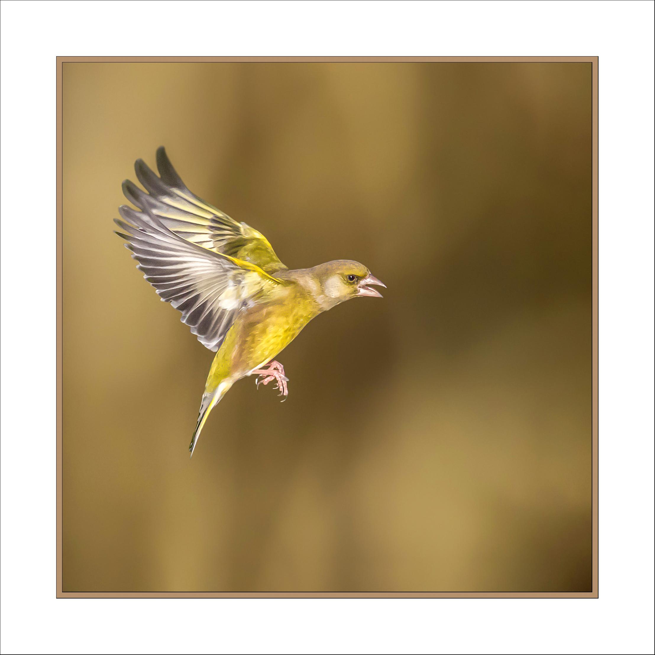 Framed Greenfinch