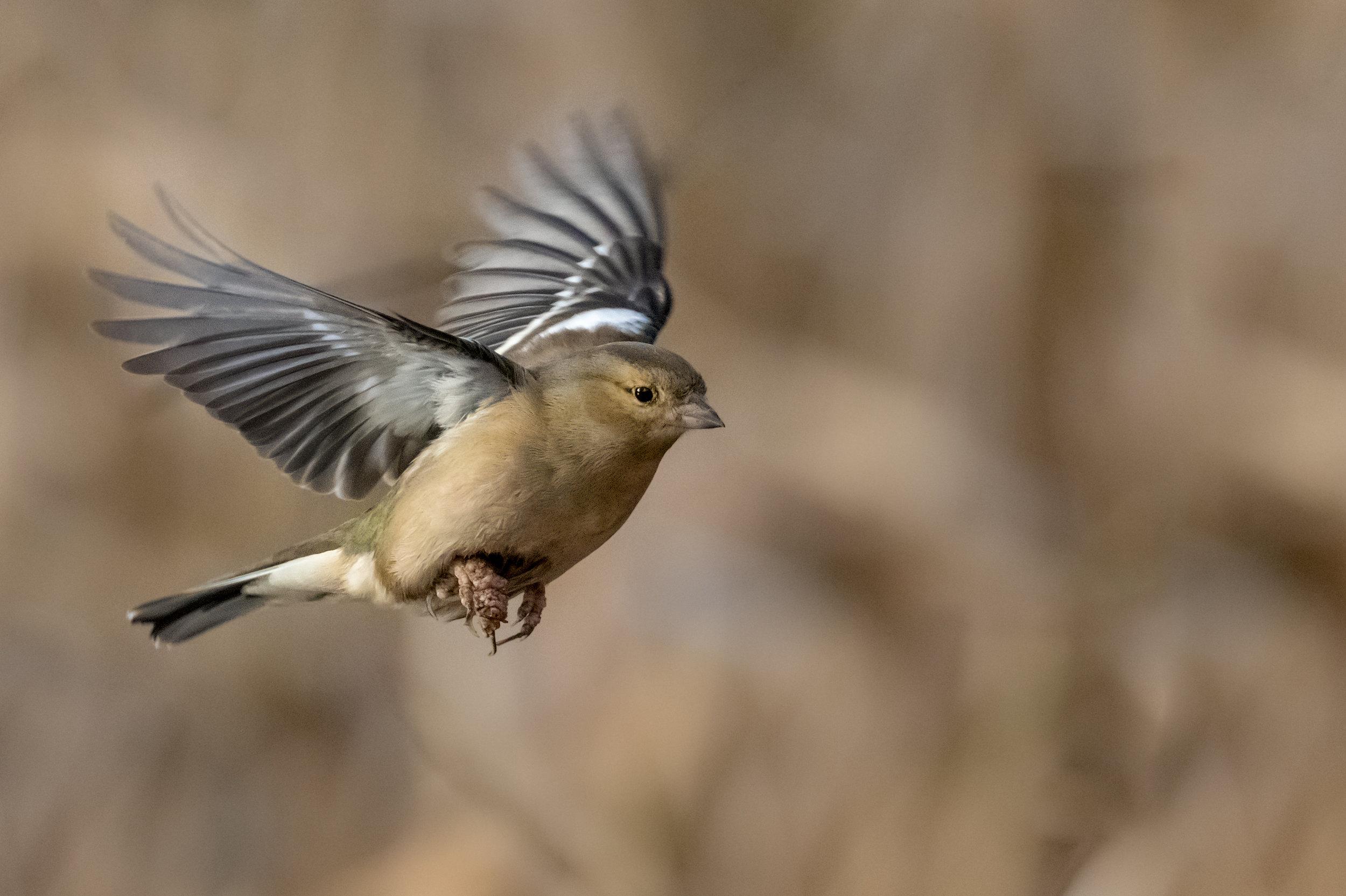 Female Chaffinch flypast