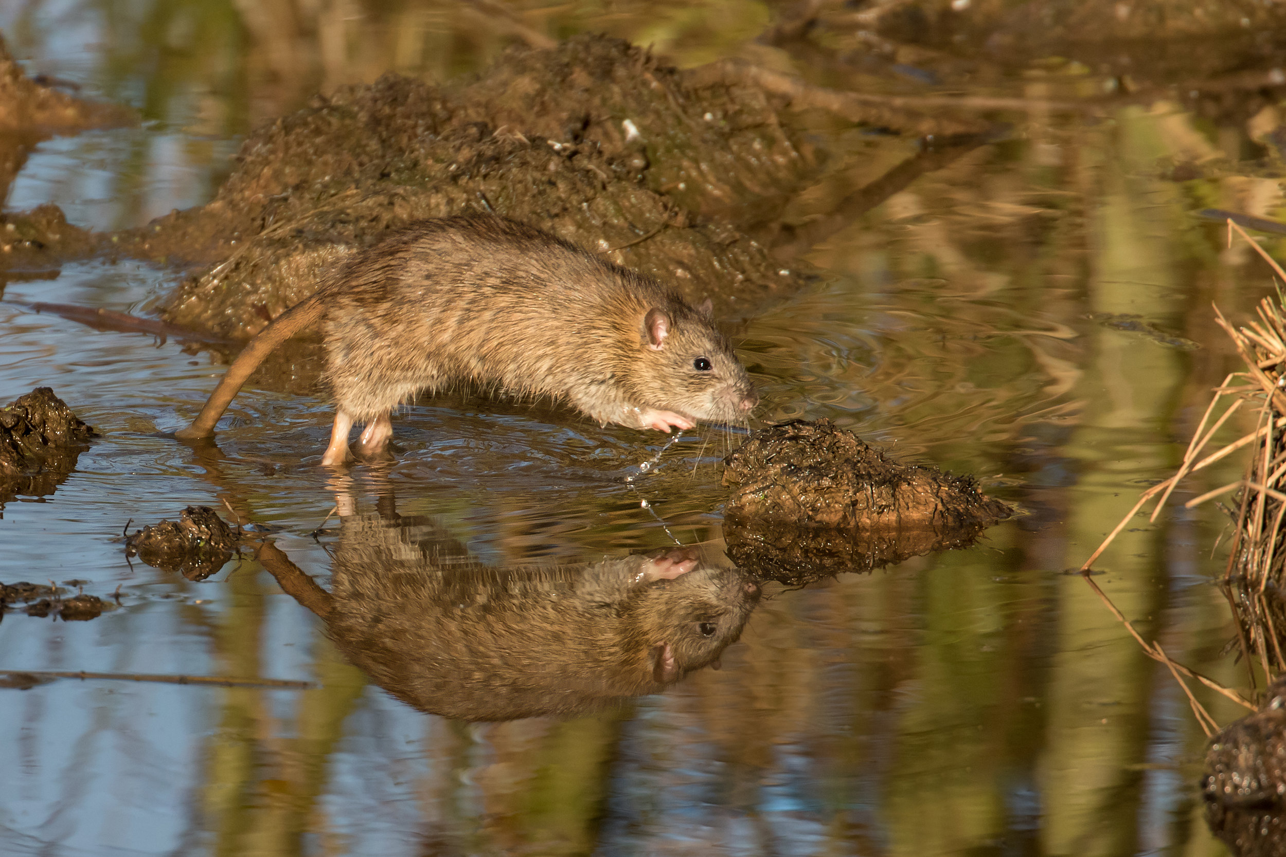 Agile Brown Rat
