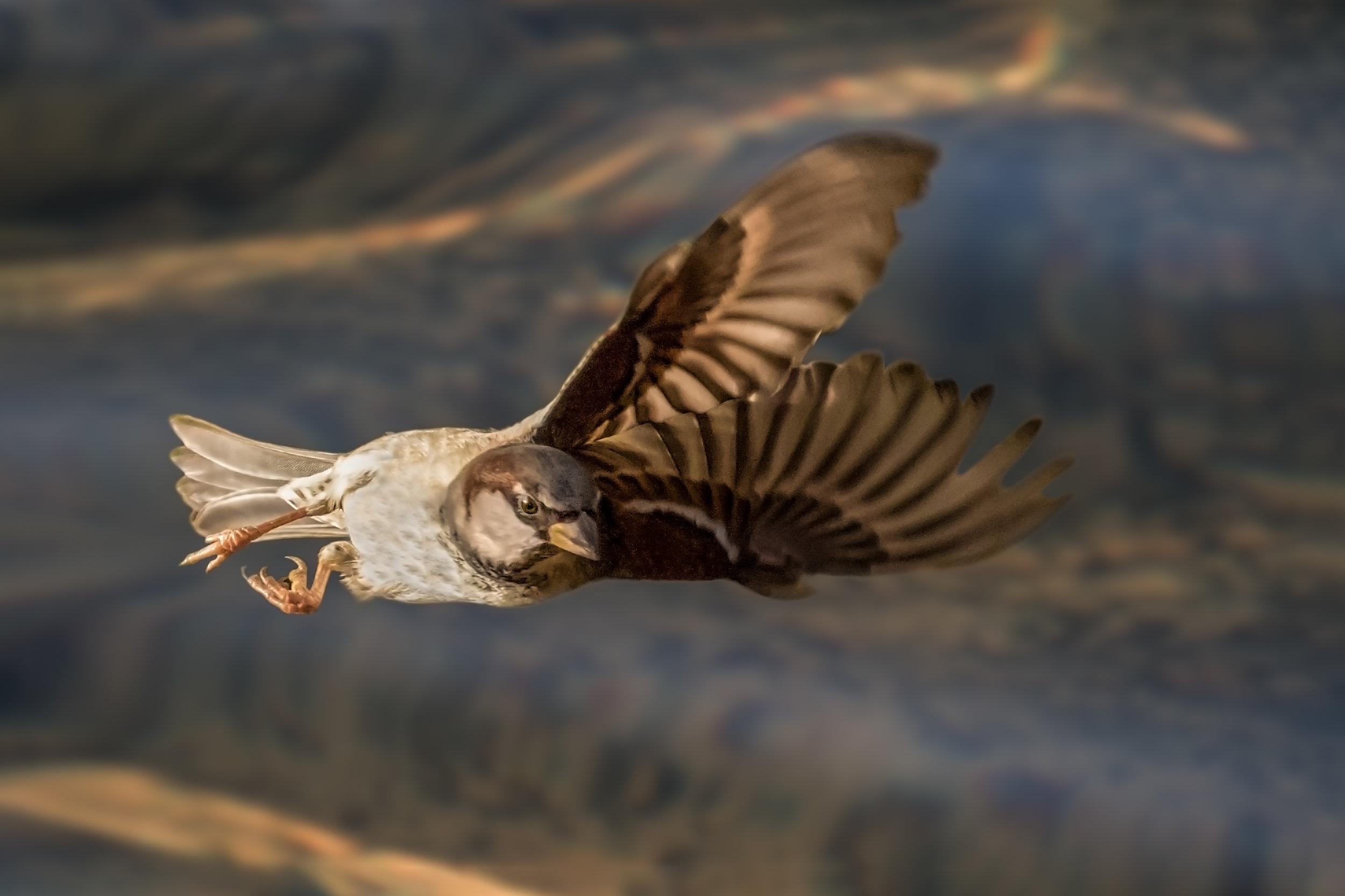 Male Sparrow flight acrobatics #1