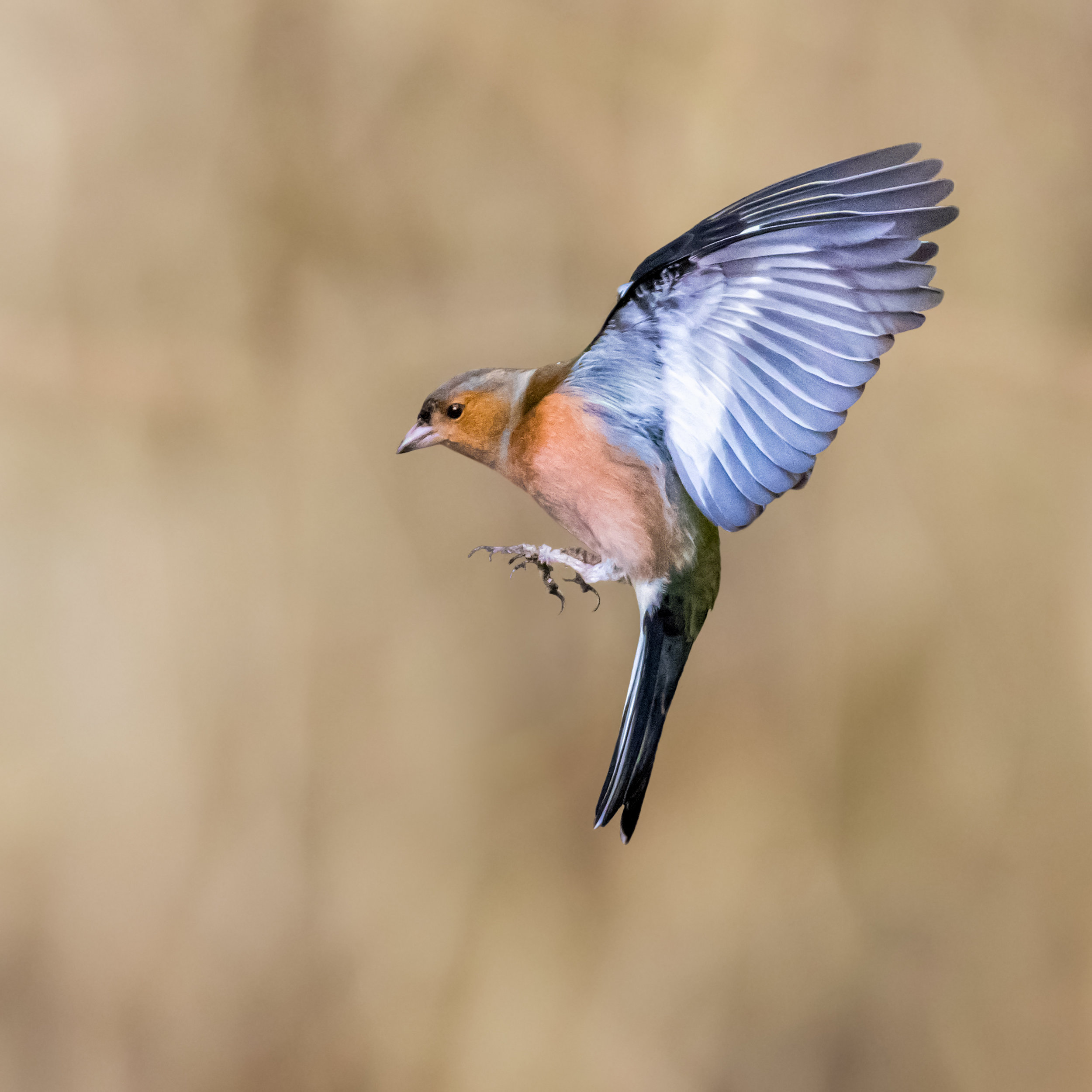 Chaffinch wings fully back