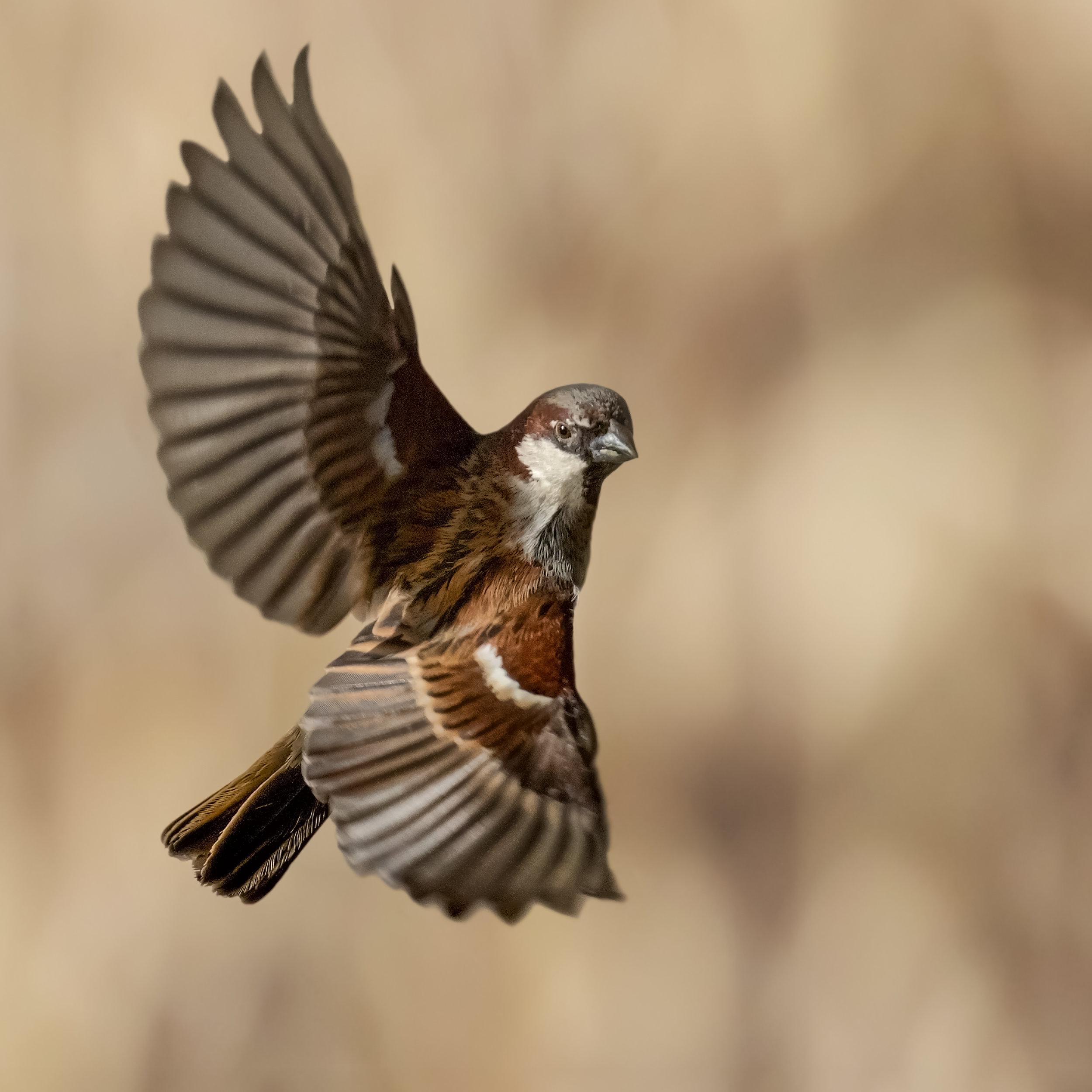 Male Sparrows flight acrobatics #2