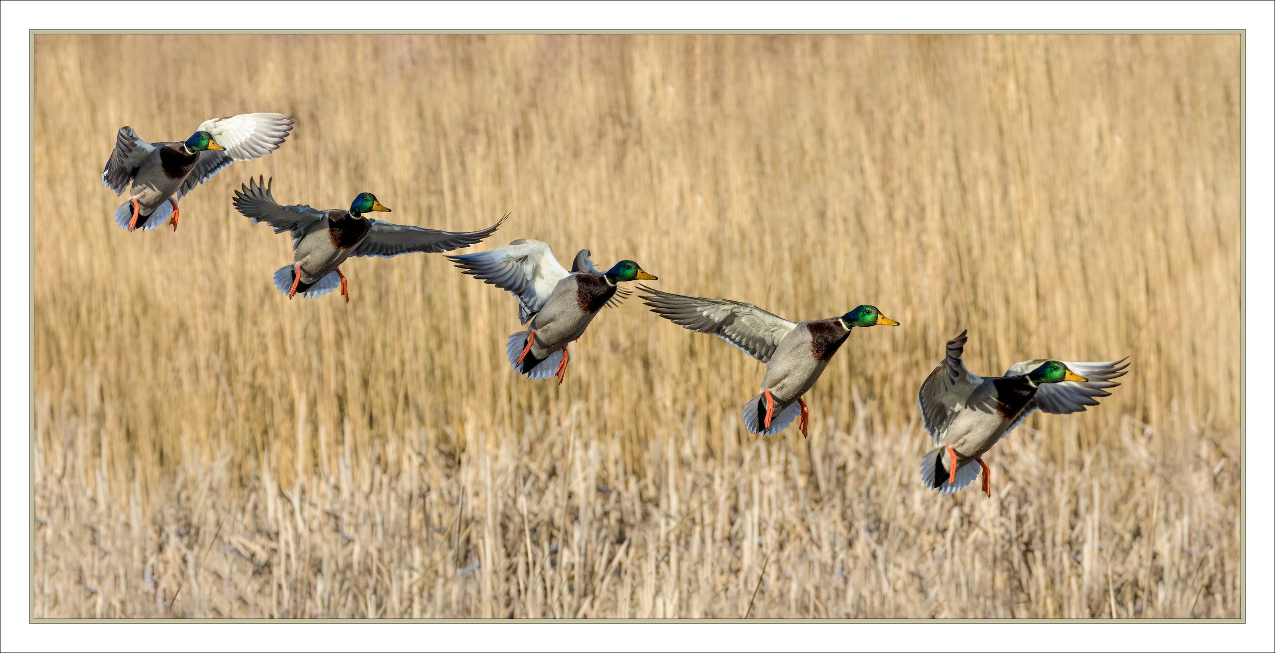 Mallard landing flight sequence