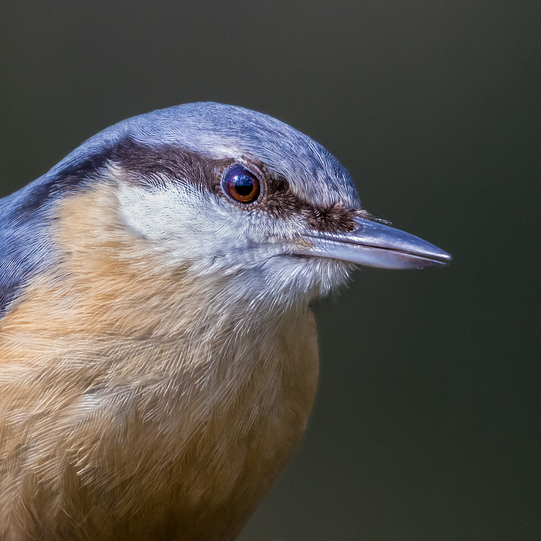 Nuthatch portrait #4