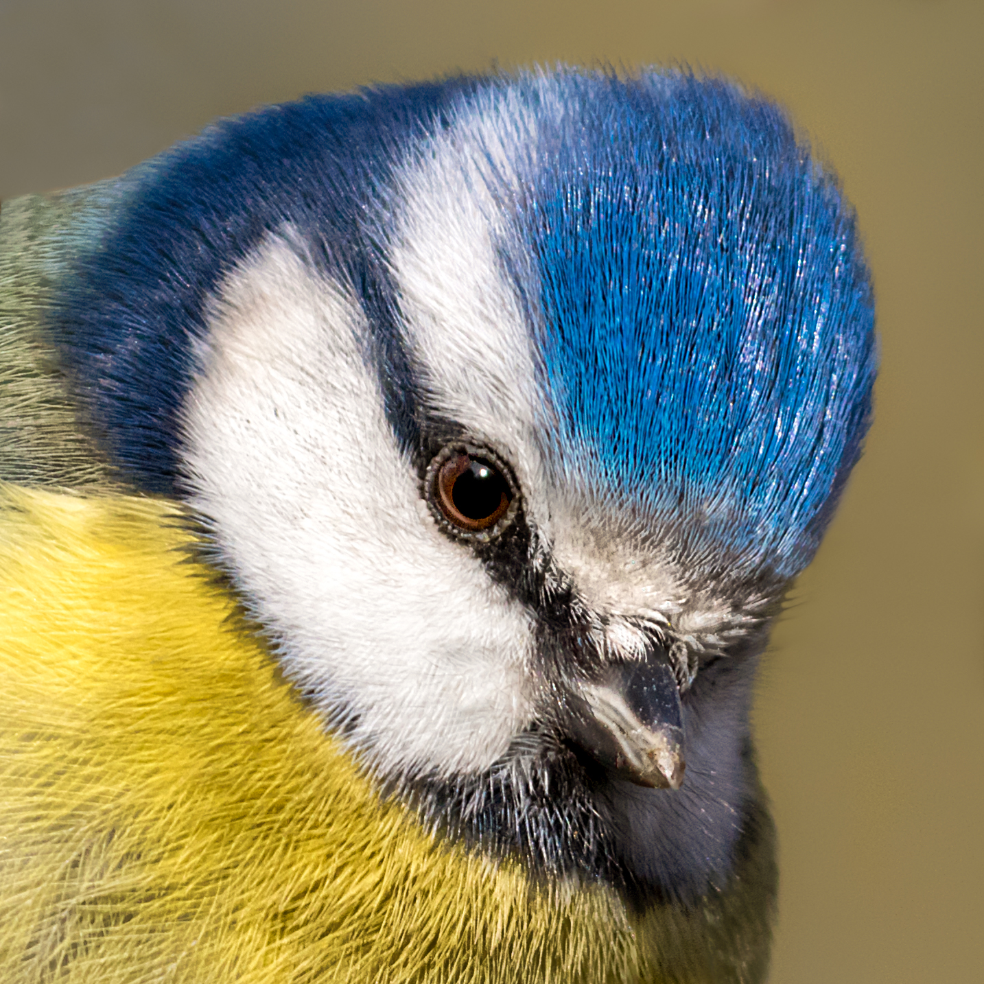Blue Tit portrait #6