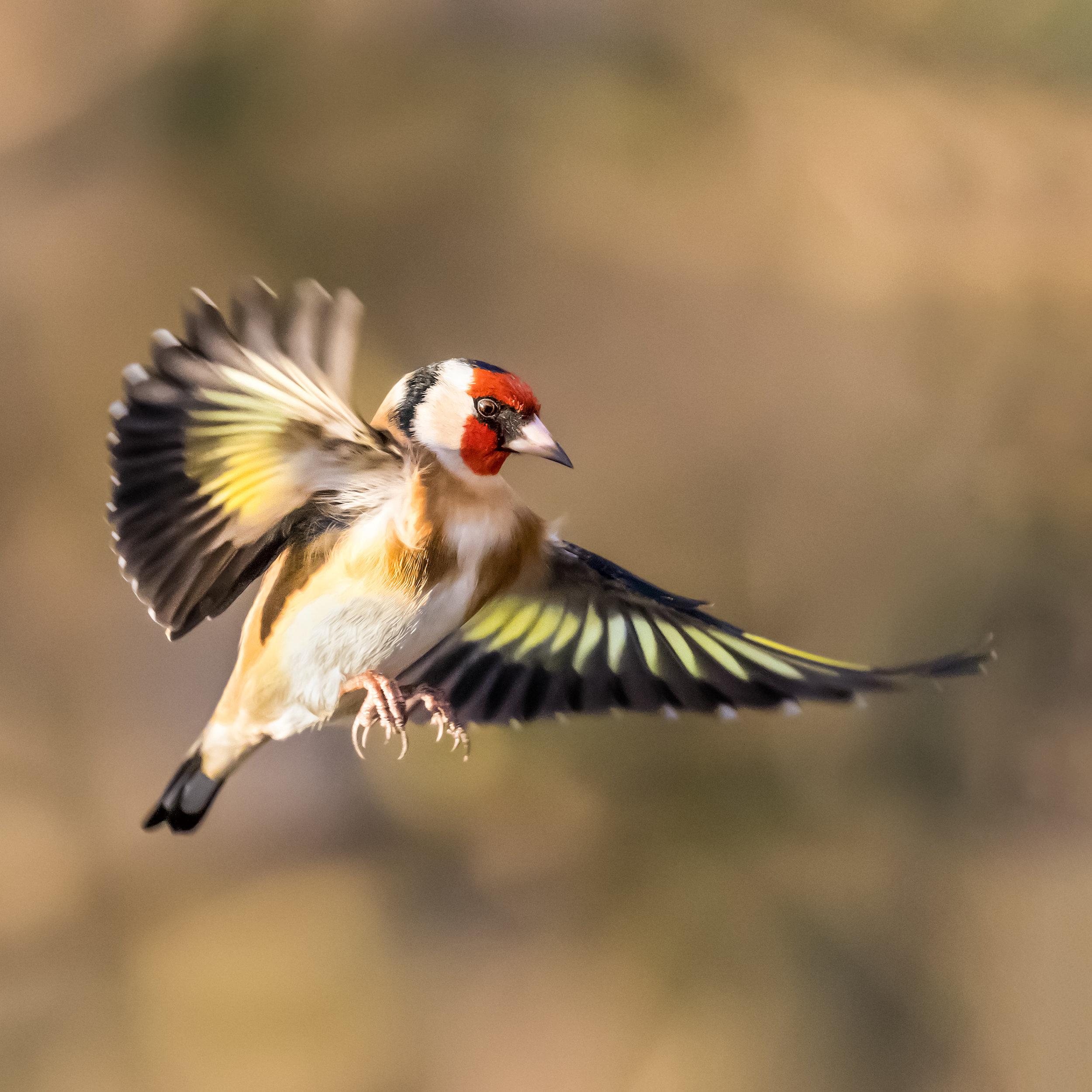 Goldfinch flight #1