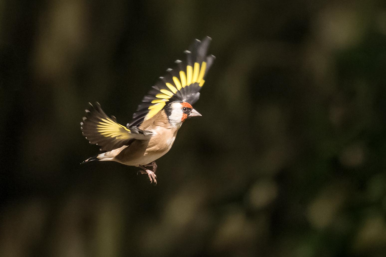 Goldfinch flight #3