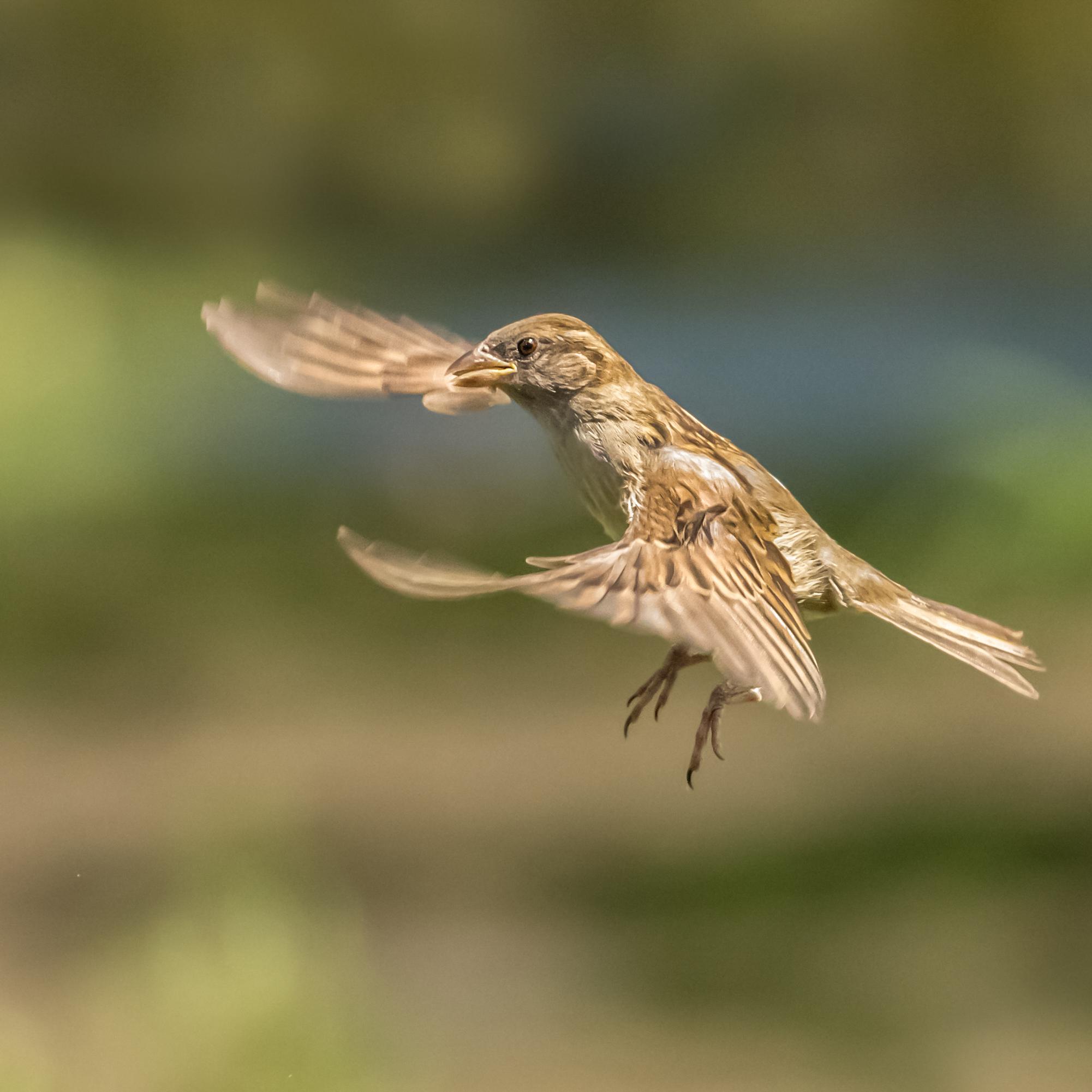Sparrow flight #3