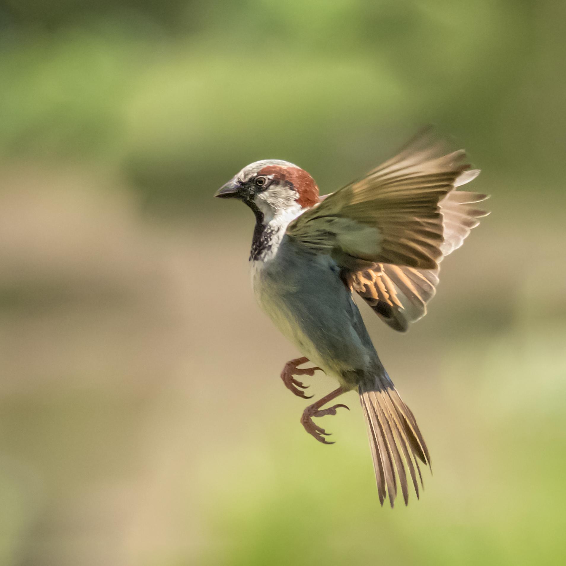 Sparrow flight #1