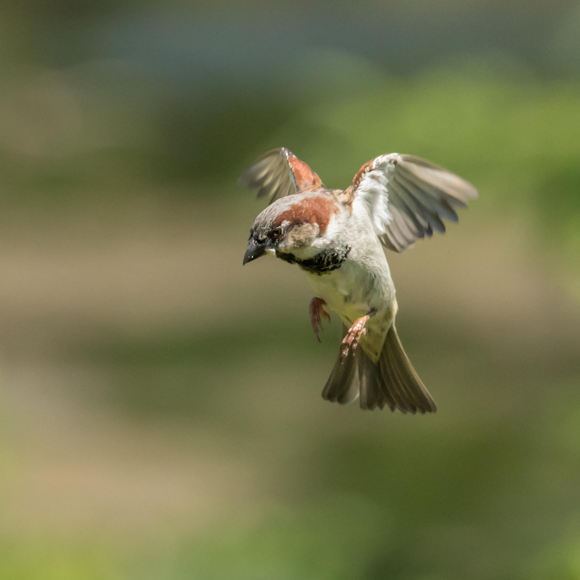 Sparrow flight #2