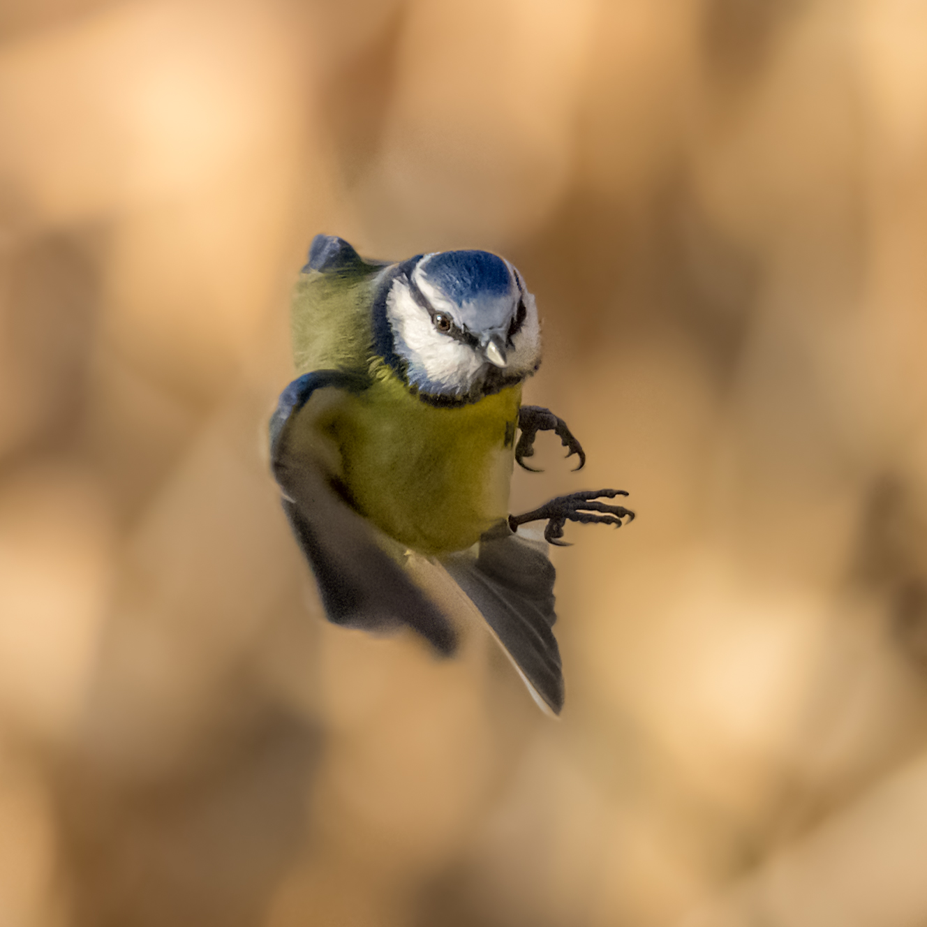 Oncoming Blue Tit
