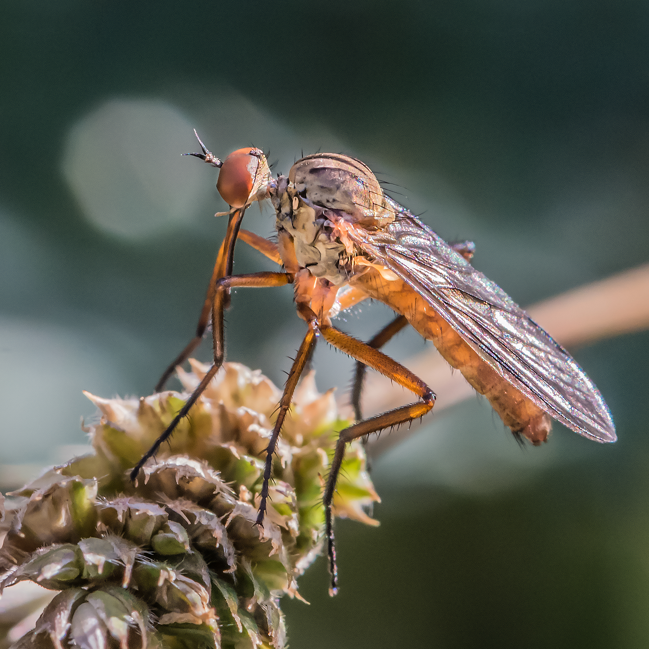 Dagger Fly (Genus: Empis)