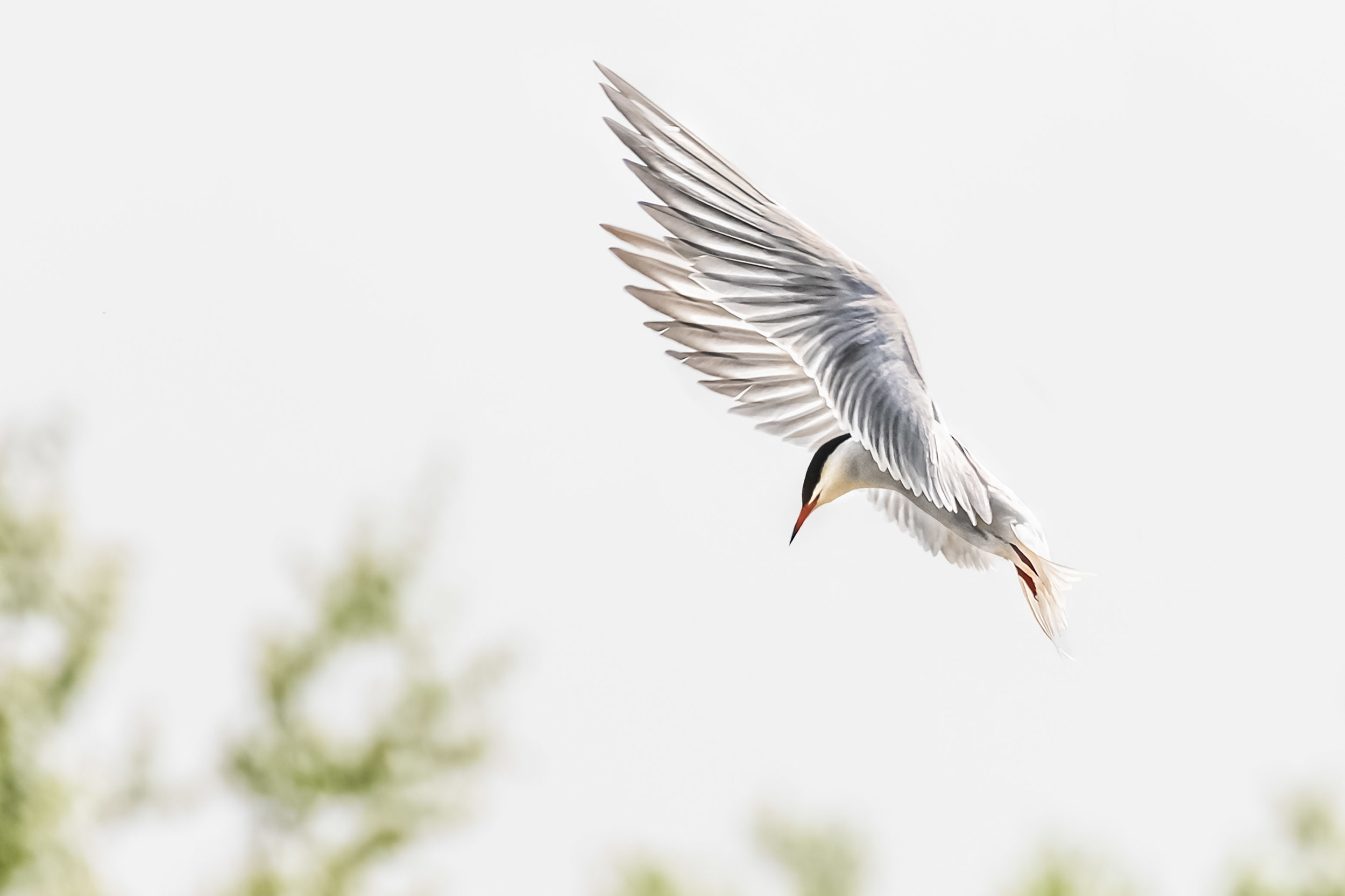 Hovering Tern #1