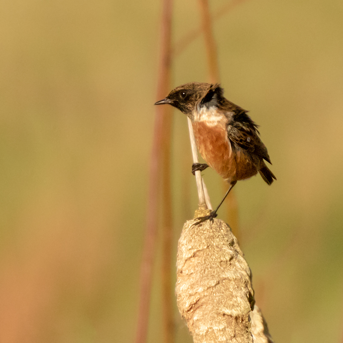 Stonechat on bulrush