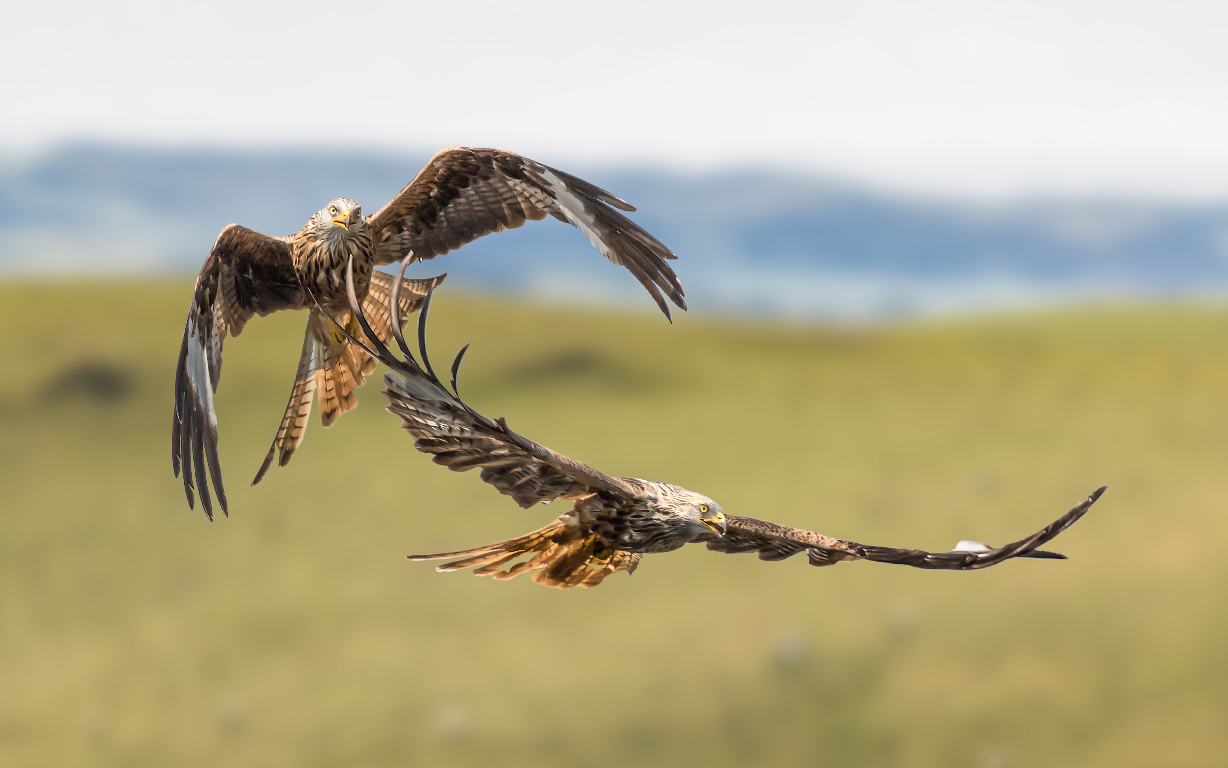A pair of Red Kites #1