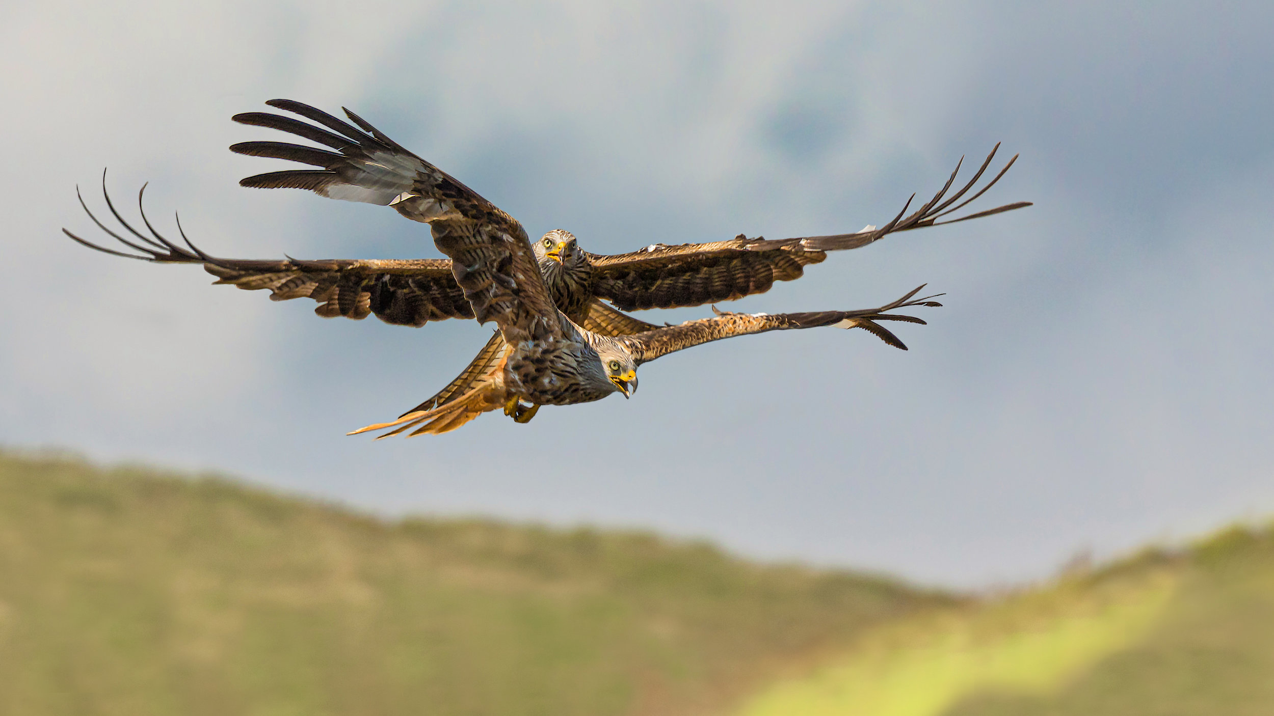 A pair of Red KItes #2
