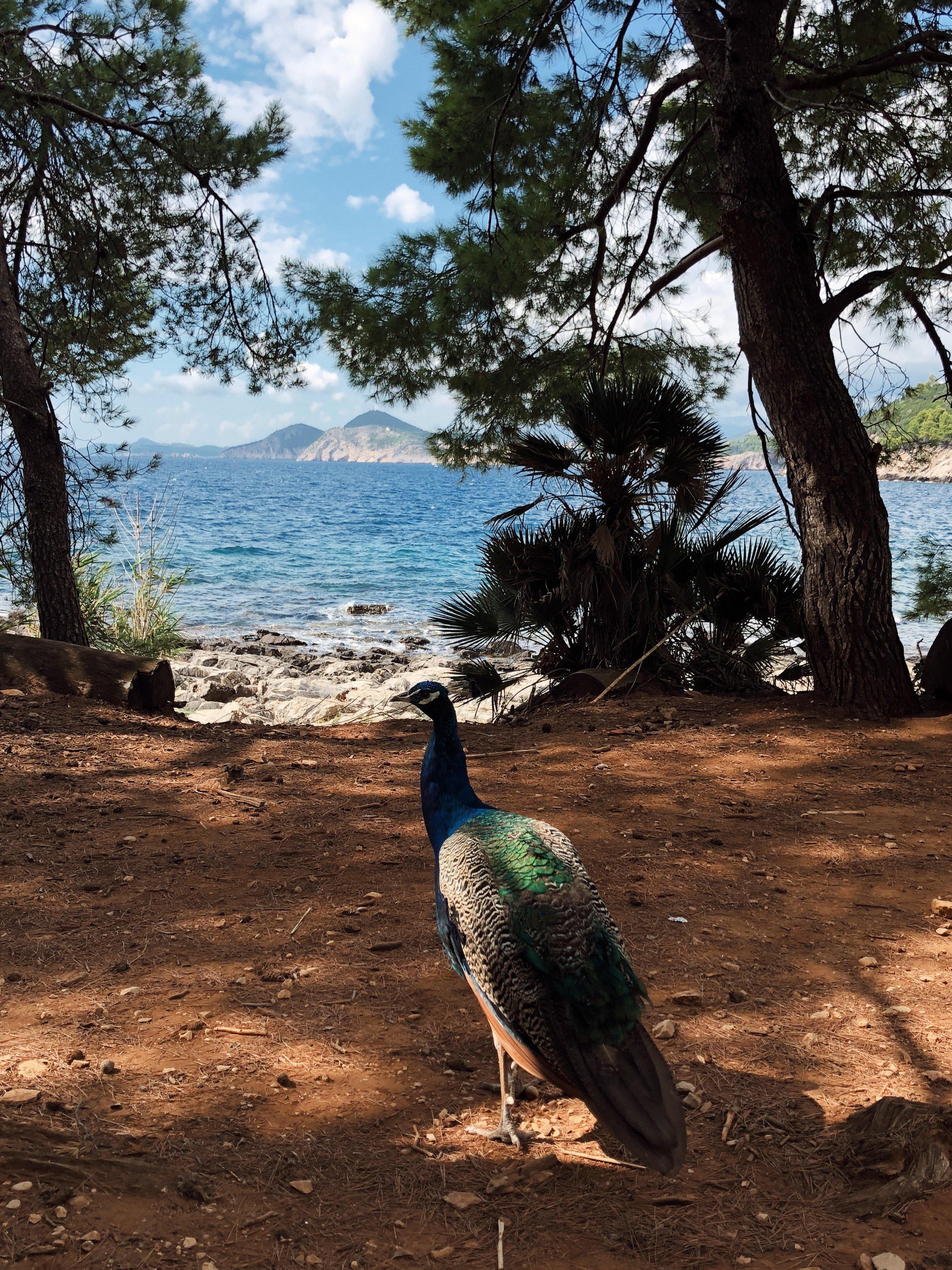 peacocks in lokrum.JPG