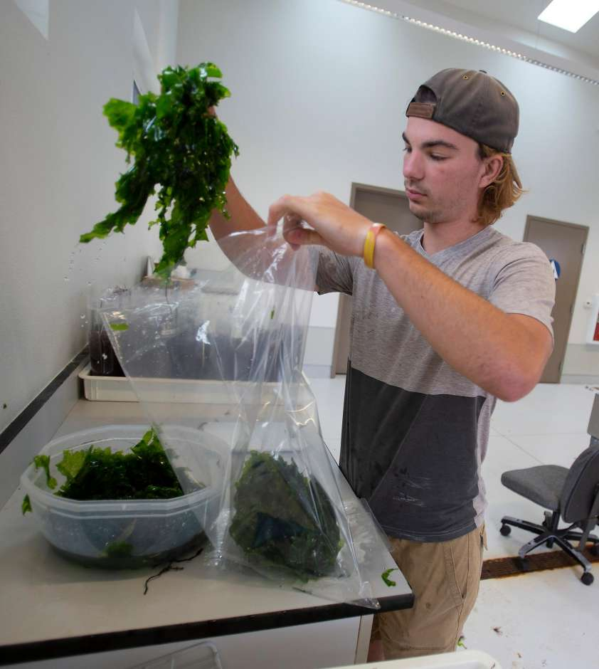 Employee Matthew Elliott packages Green sea lettuce