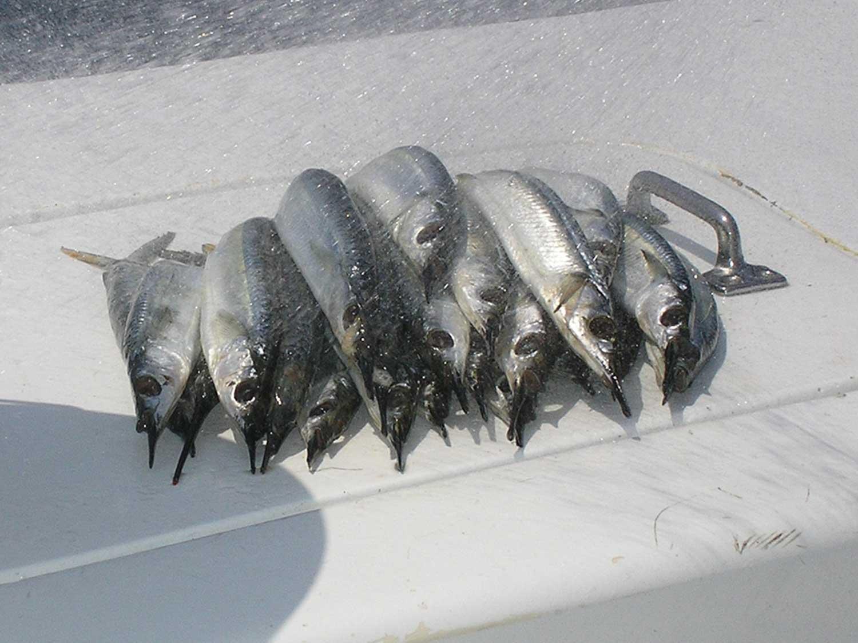 Makerel - High Return Sportfishing