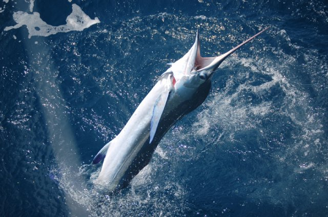 Billfish - High return Sportfishing