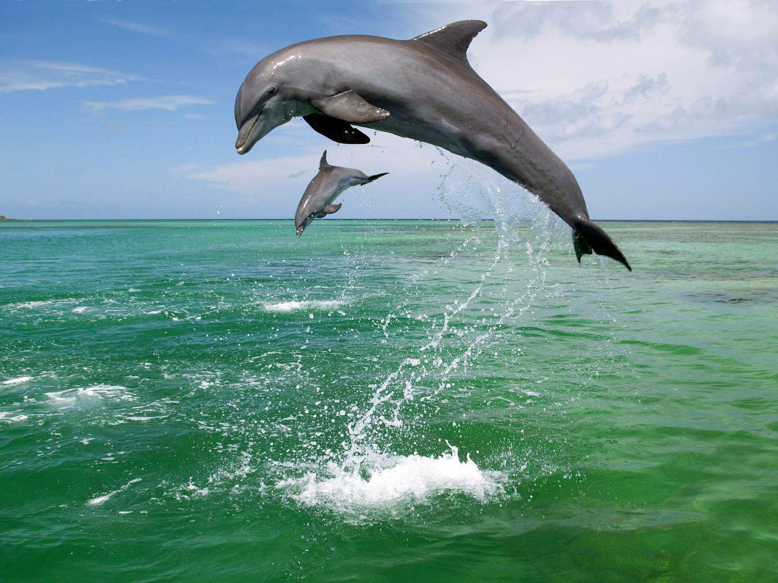 Bottlenose Dolphins :  1. Bottlenose Dolphins can live up to 40 - 50 years. The can grow to up to 12 ft long.  2. They must swim to the surface to breathe, which means that they never fully sleep. One side of a dolphin's brain must remain active for them at all times.  3. Bottlenose have a 360 degree field of vision. They can move each eye independently of the other.  4. They can dive up to 3000ft and spend 7 minutes underwater.  5. Each dolphin has a signature whistle used to identify themselves. When lost or isolated they use their signature whistle to call out to the group.