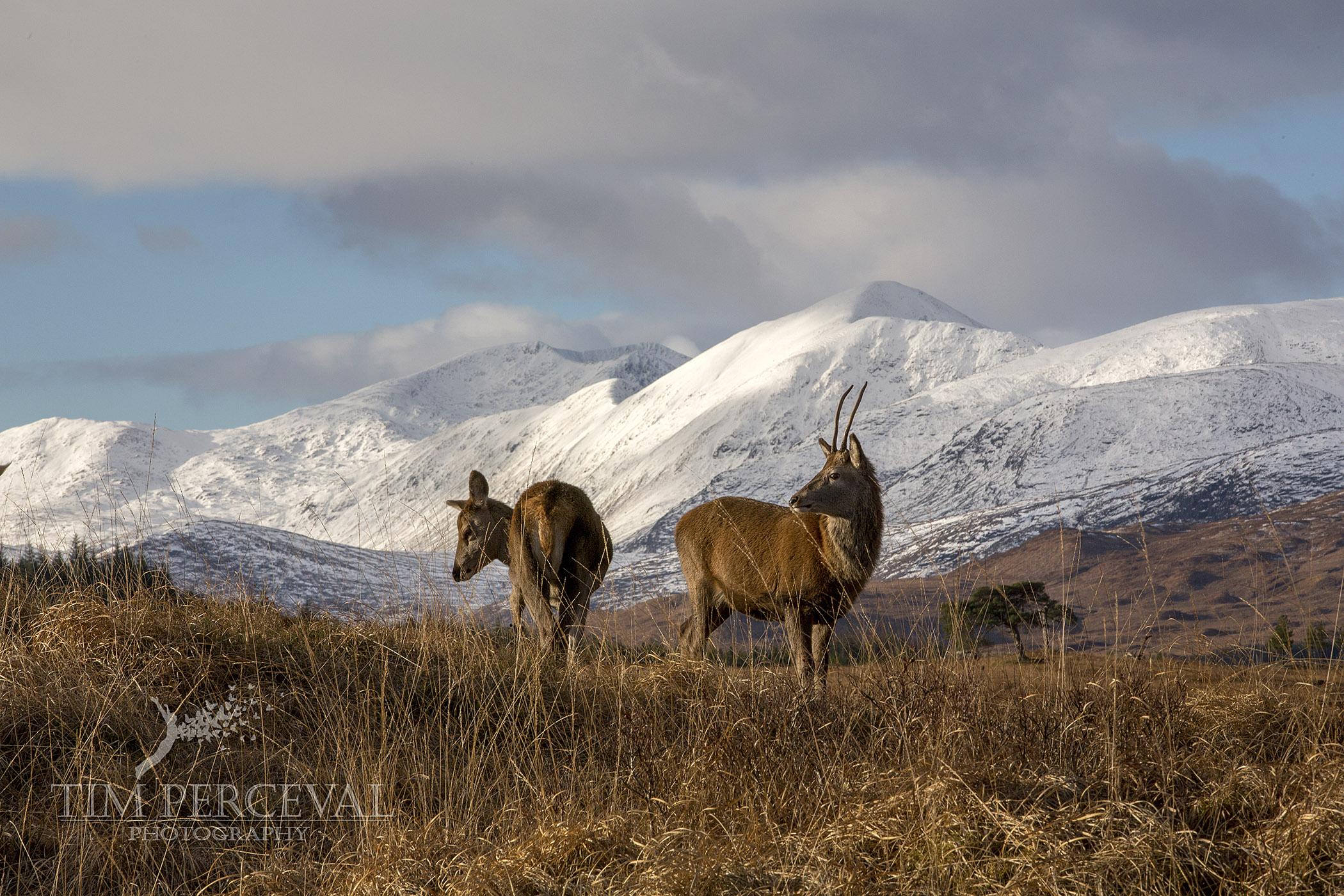 Deer overlooking Stob Ghabhar