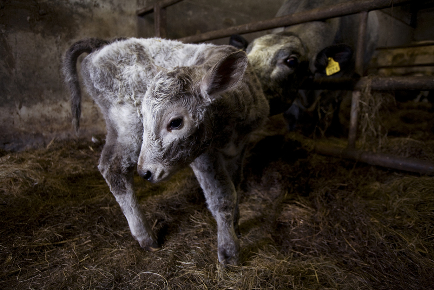 A documentary photograph of a baby calf and his mother in a separate area in the west of ireland