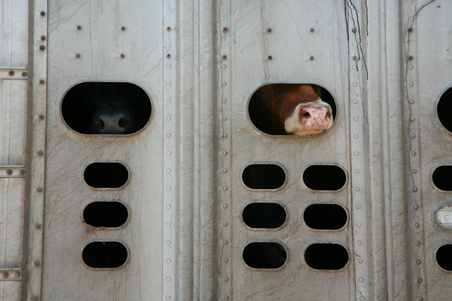A documentary photograph of a cow sticking his nose out of truck while riding on the highway in the midwest of the united states