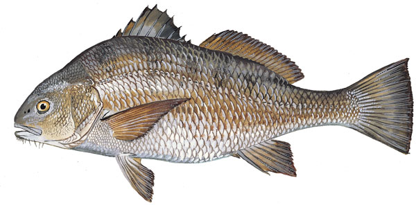 An illustration of the black drum from  dnr.sc.gov