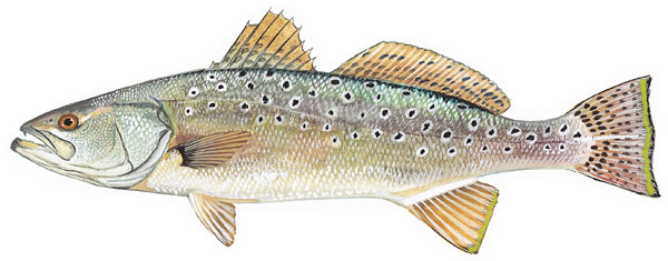 An illustration of a spotted seatrout from  dnr.sc.gov .