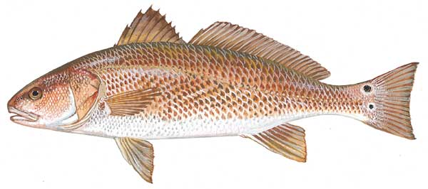 Illustration of a red drum from  dnr.sc.gov