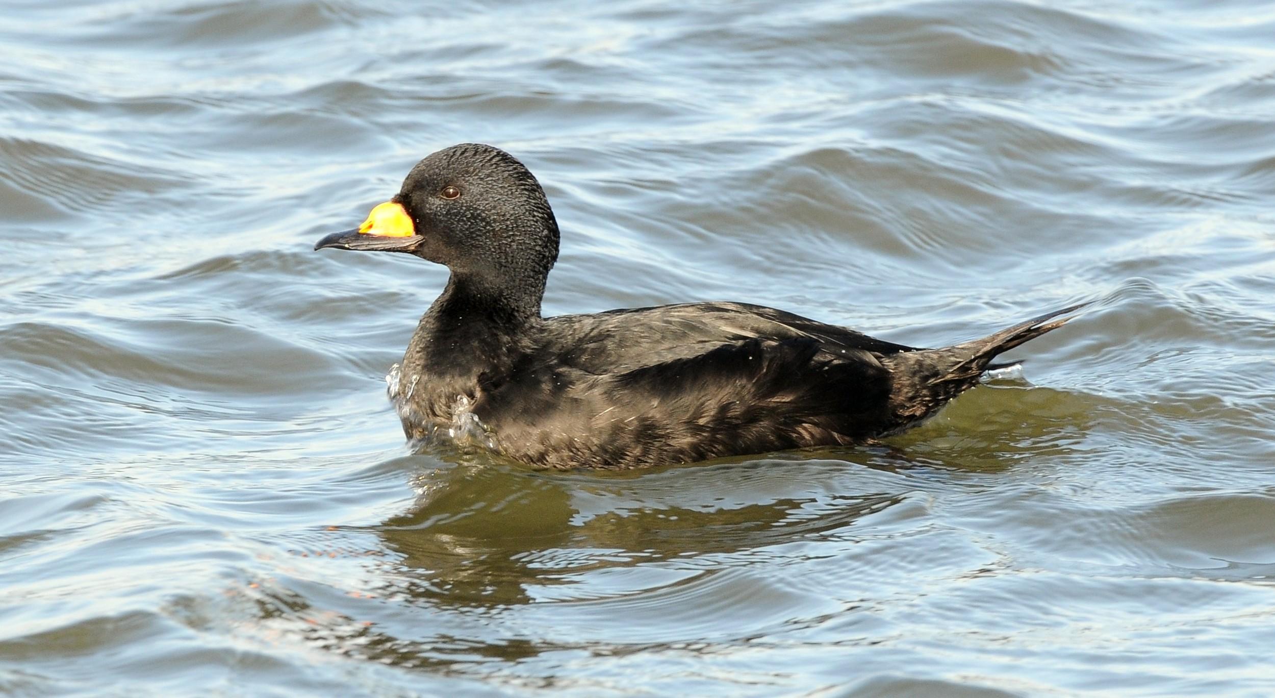A black scoter duck.