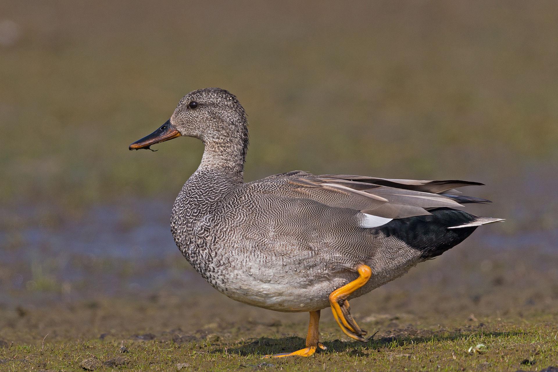 A male gadwall duck.
