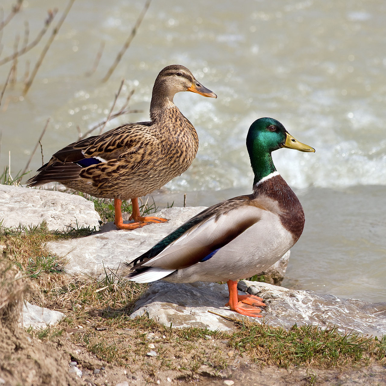 Female (left) and male (right) mallards.