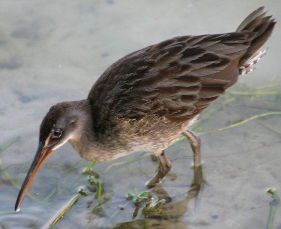 A clapper rail or marsh hen.