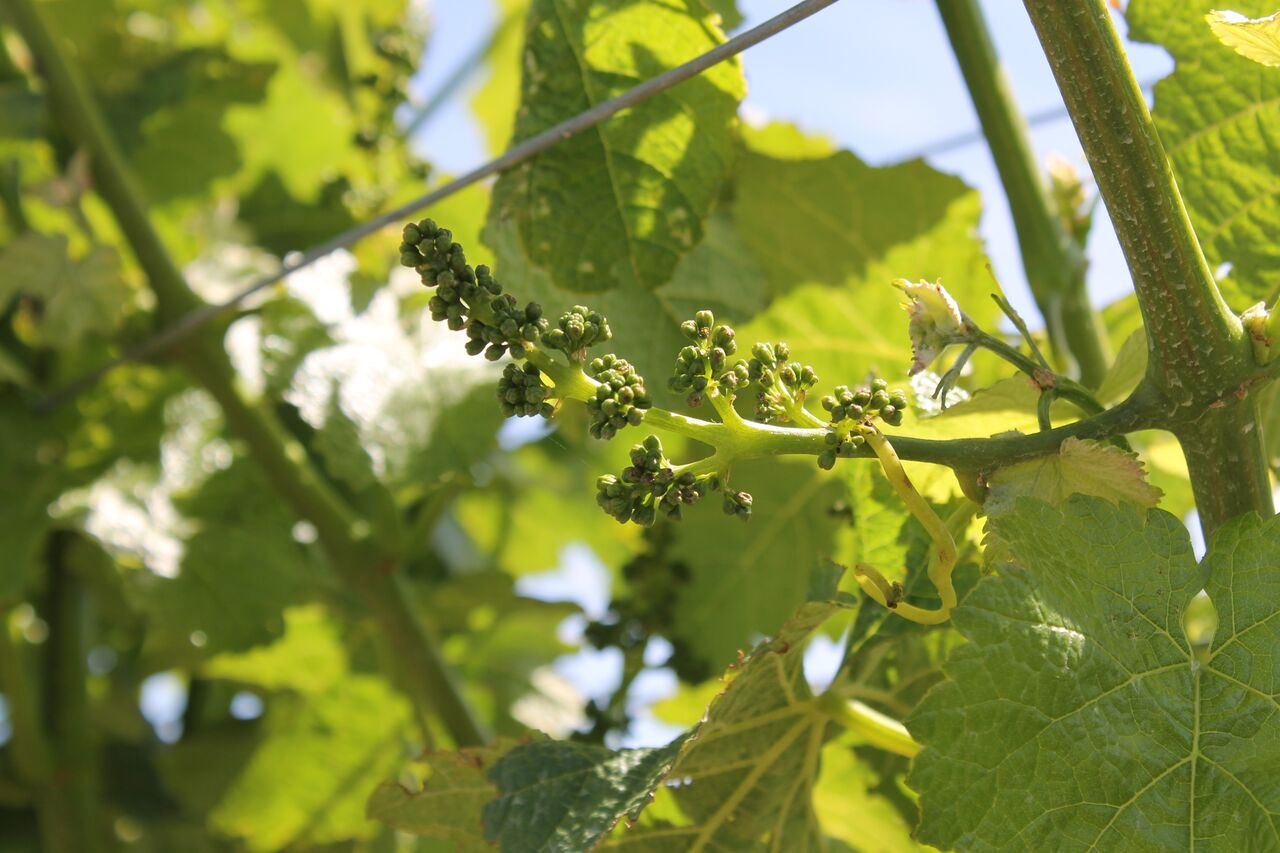 baby buds on vine.jpeg