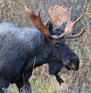 A Northern Moose