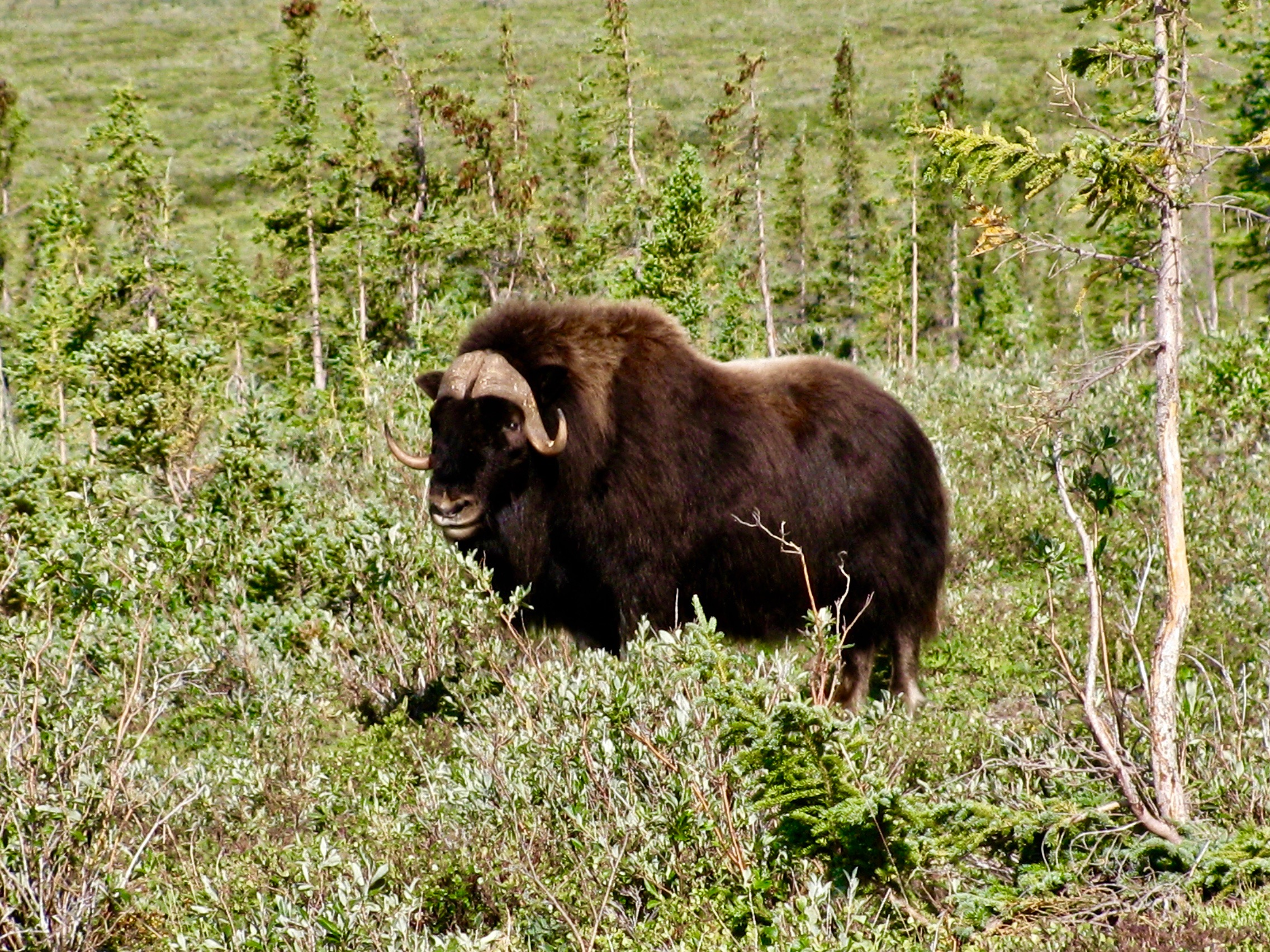 Coppermine River Muskox Bull 2.jpg