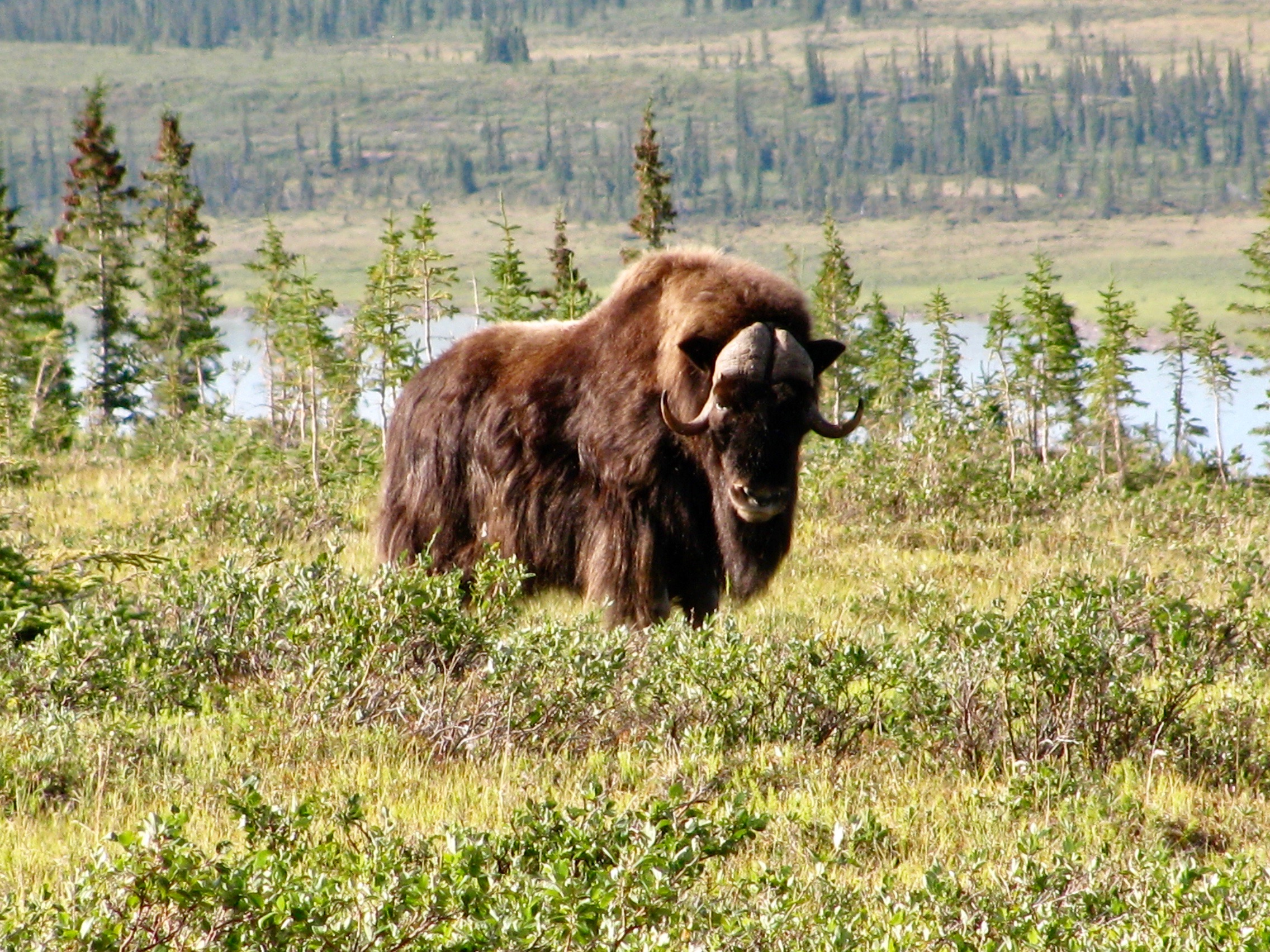 Coppermine River Muskox Bull.jpg