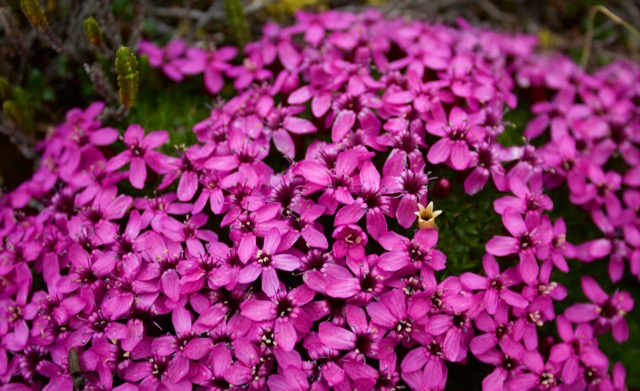 Nahanni River Moss Campion.jpg
