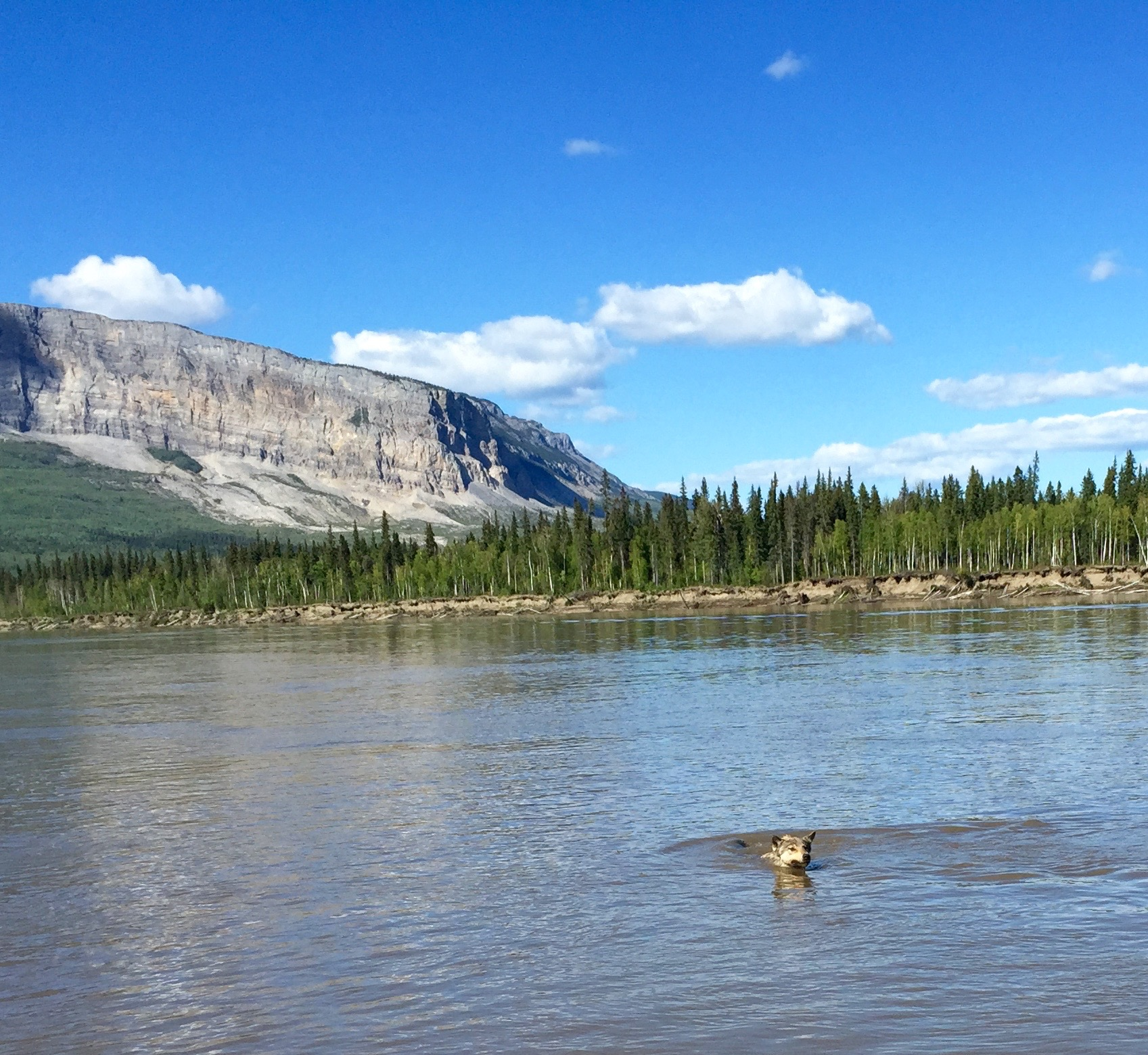 A playful wolf at Nahanni Butte.