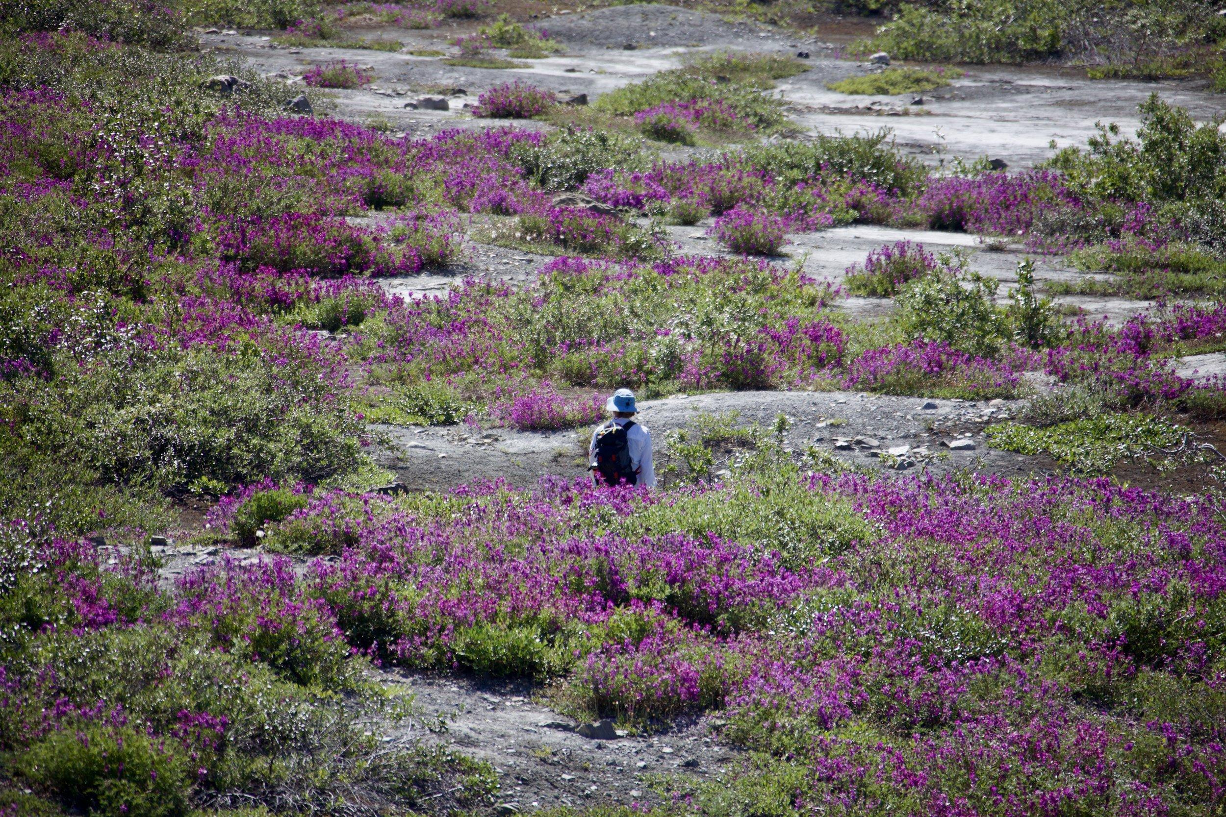 Walking through fields of colour in the Tatshenshini watershed.