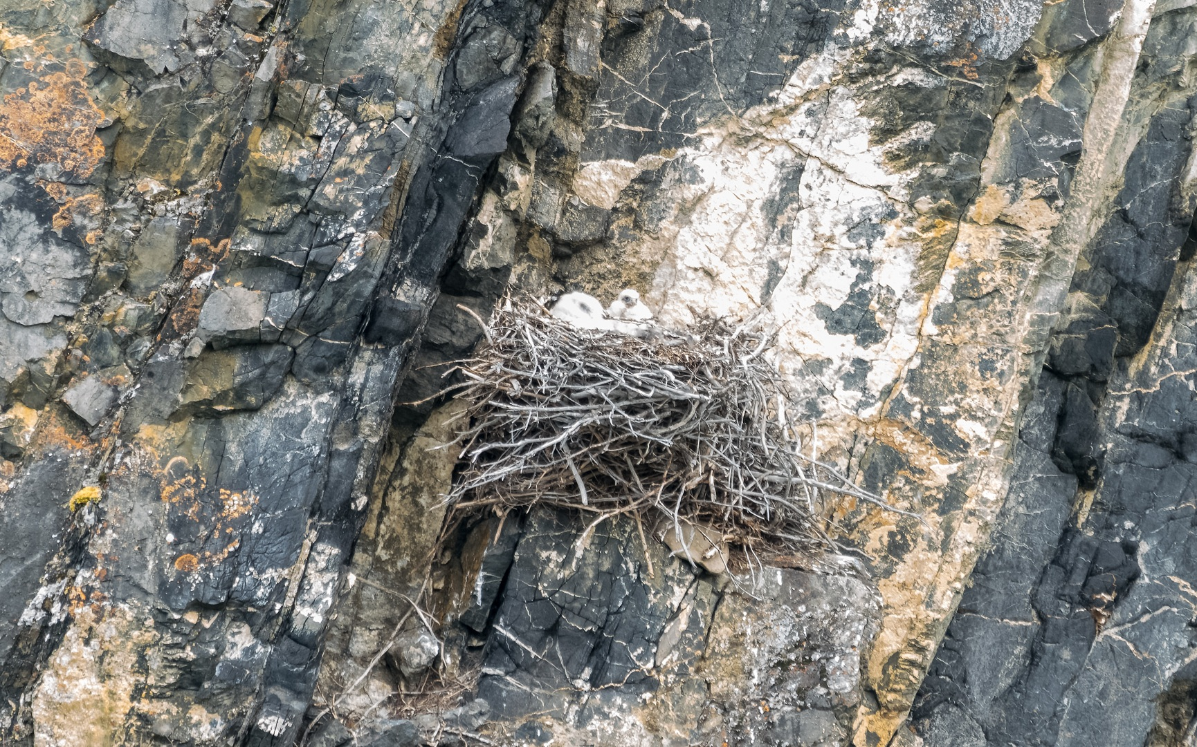 Peregrine Chicks in a Nest  (Photo by Michael Papple)