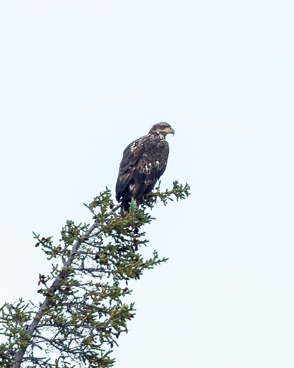 Golden Eagle  (Photo by Michael Papple)