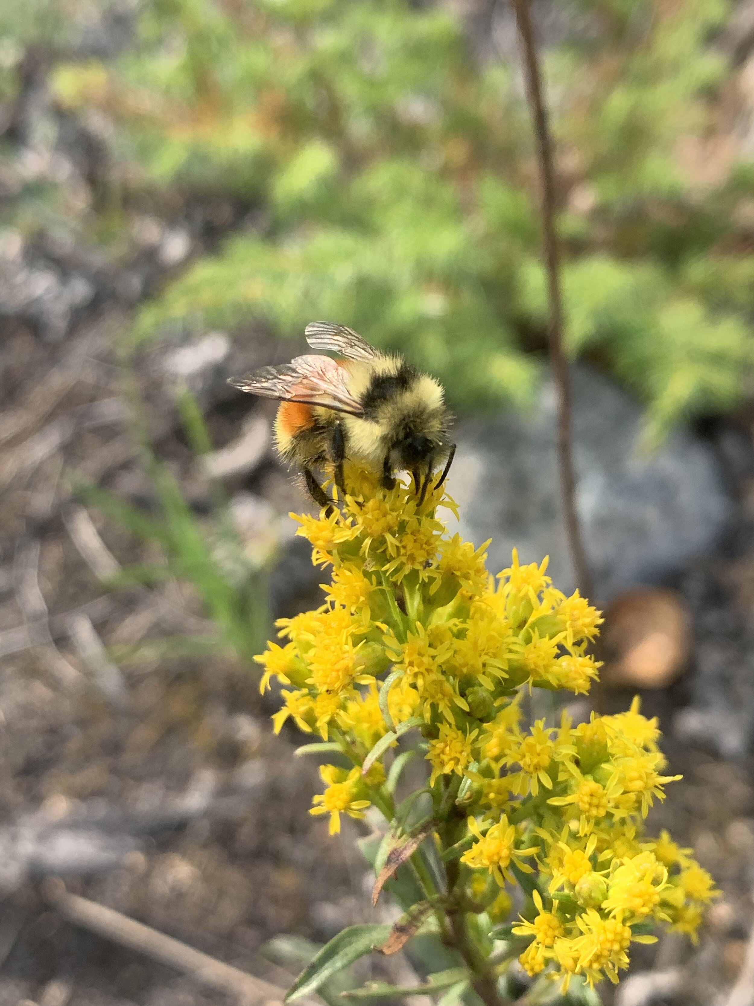 Bee on goldenrod bloom. (Photo: Aerin Jacobs)