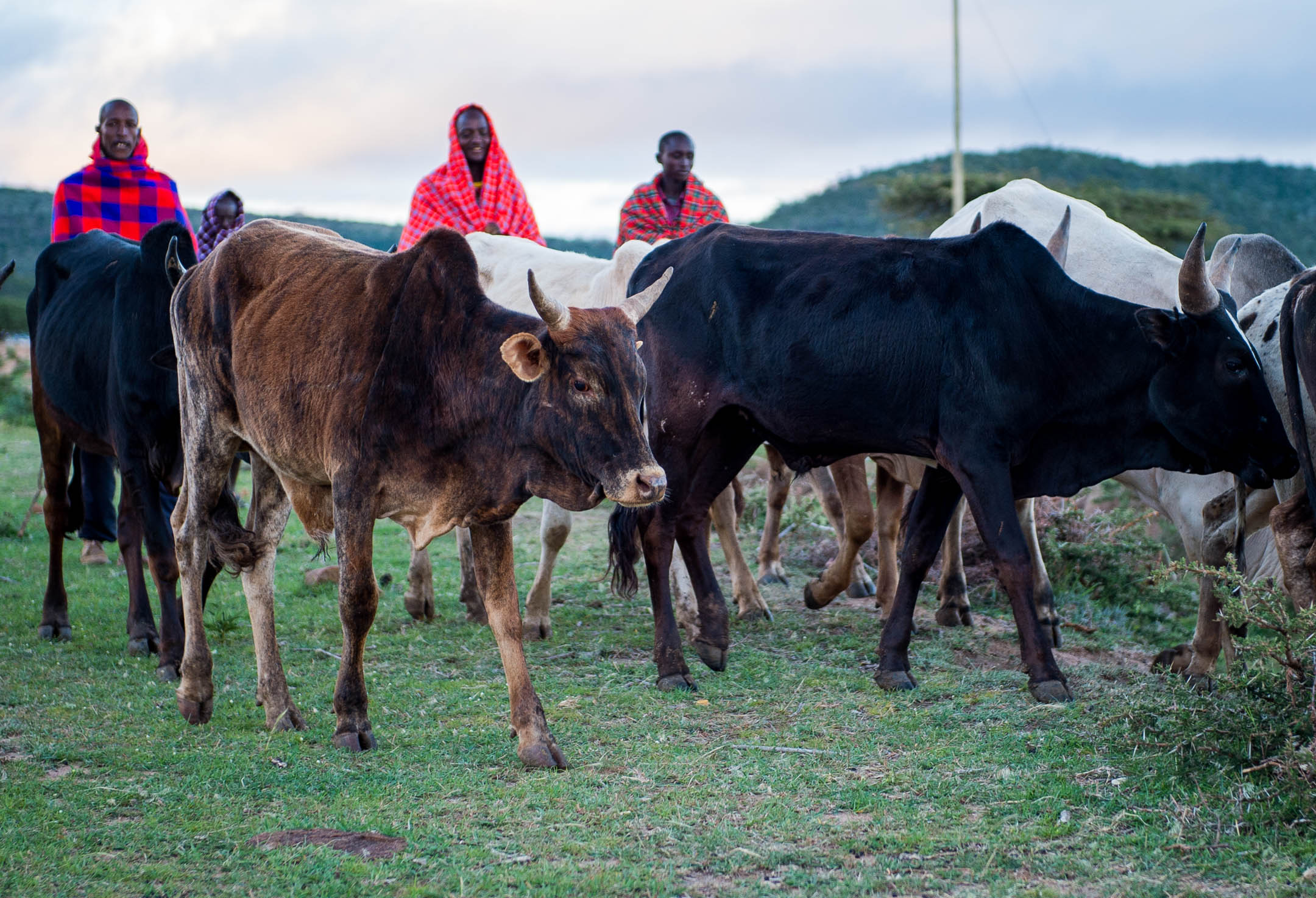 Buy a cow, $200, to help a school gain a sustainable source of income -