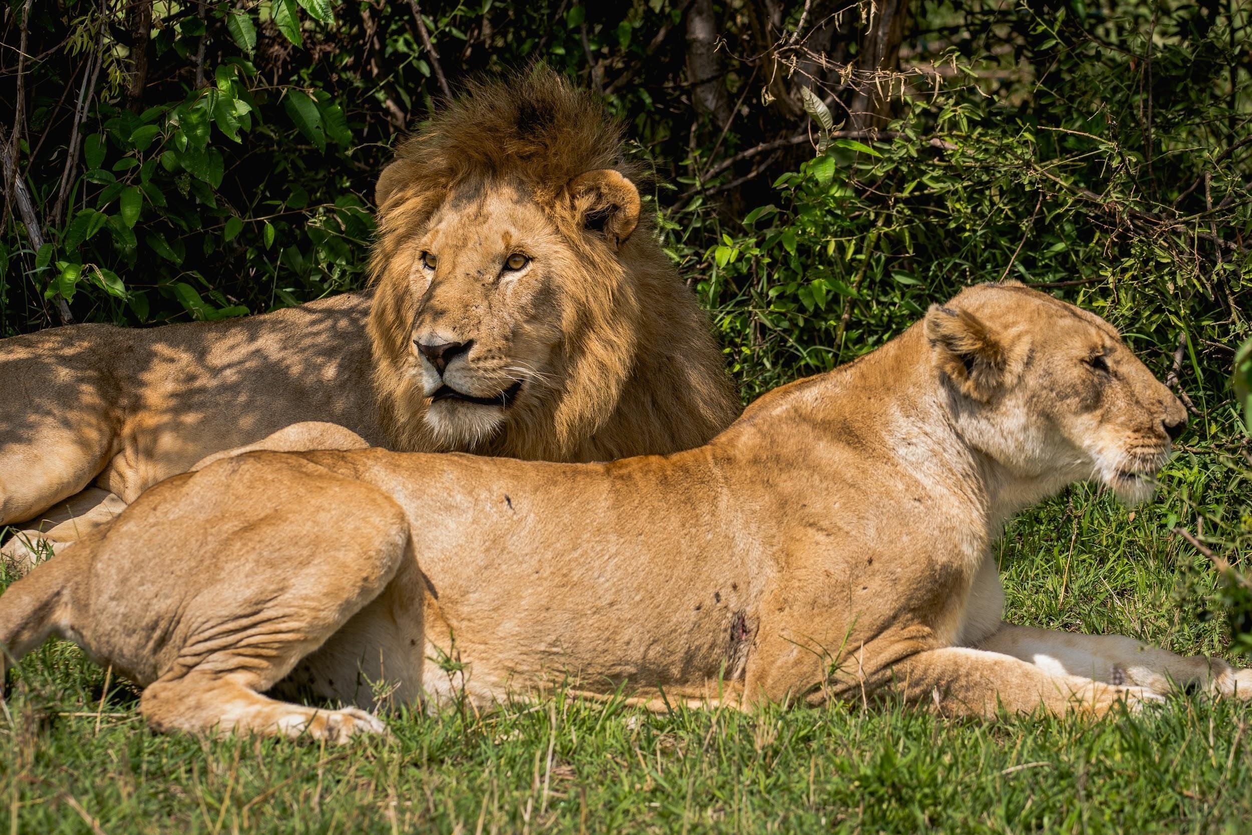 lions safari wildlife big5.jpg