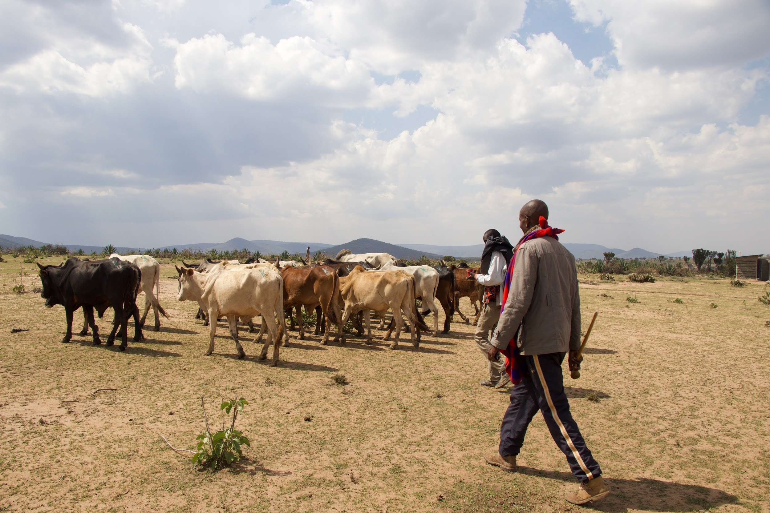 humans for education cattle africa kenya.jpg